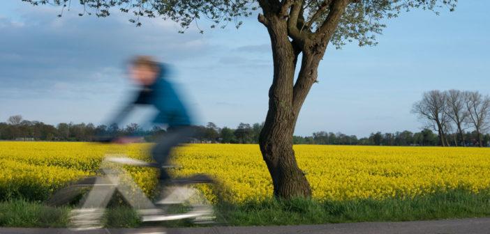Radfahrer Rapsfeld